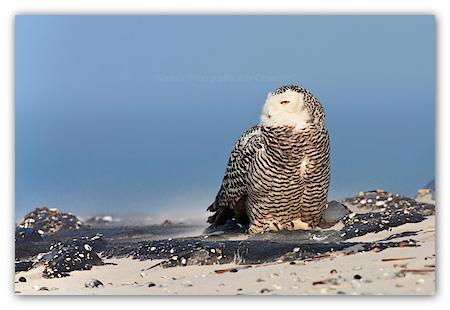 Snowy Owl (Bubo scandiacus) sitting on rocks on the beach
